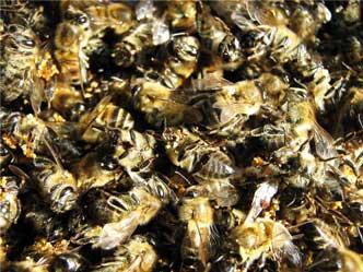 Живительная сила пчелиного подмора